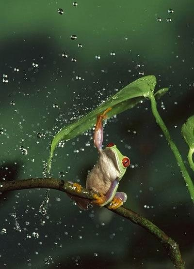 frog-using-leaf-to-stay-out-of-rain